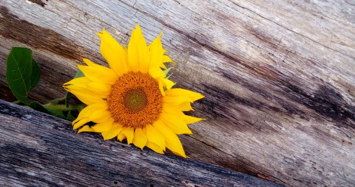 sončnica na deblu